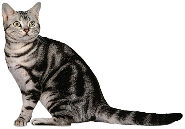 Shakespeare, Brianna's cat American shorthair cat, Grey