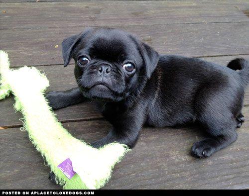 #cutepugpuppies