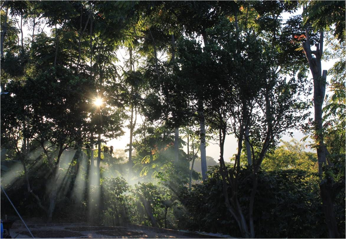 Sunset through the coffee forest.