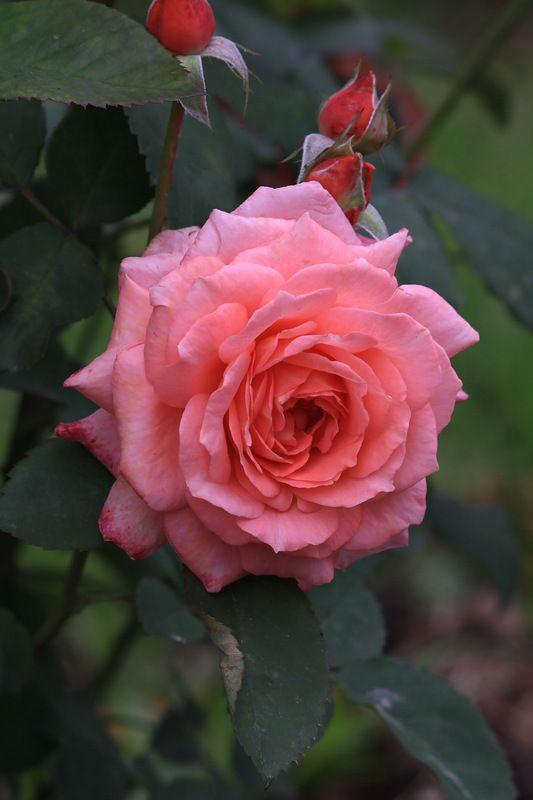 Rose by miruvlecheniy