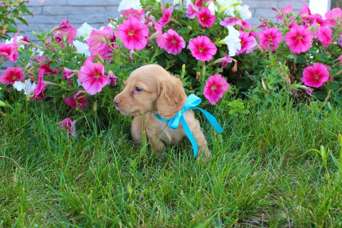 Puppy Finder Puppies, Cheap puppies, Weenie dogs