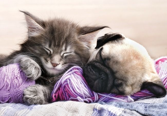 Cute Pug Puppy And Kitten Kittens And Puppies Puppies Pets