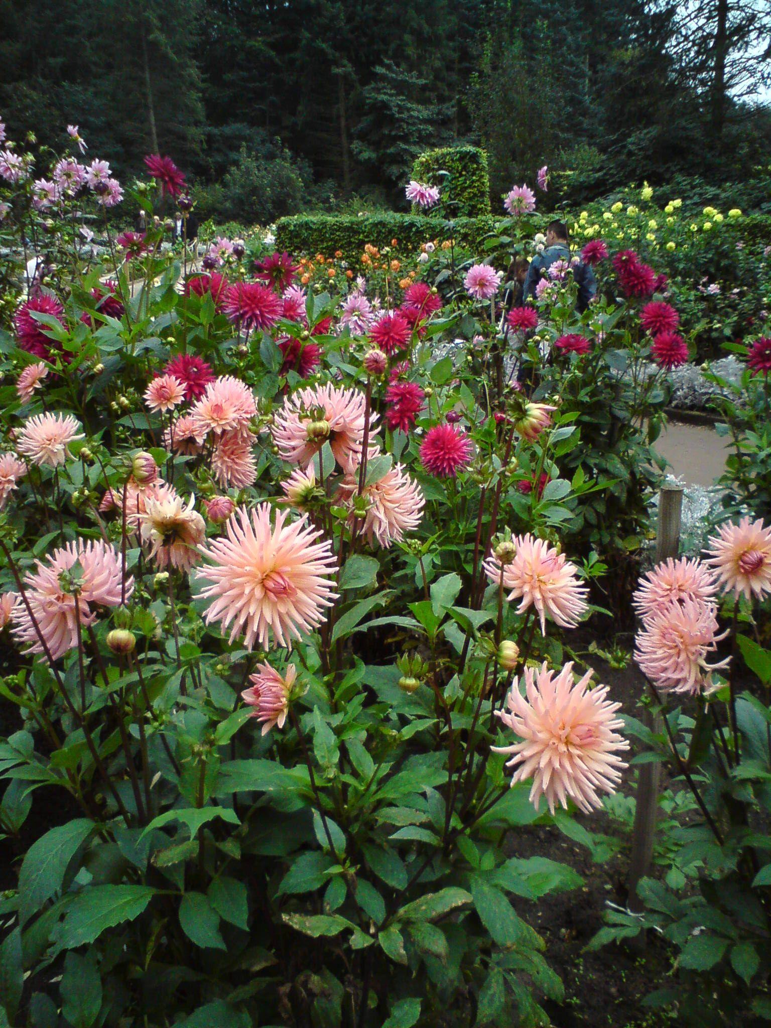 Dahliengarten hamburg dahlias garden flower garden