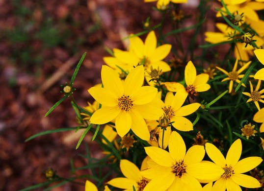 20 plants that survive with or without you pinterest gardens coreopsis also called tickseed is a part of the asteraceae family and comes in a variety of heights and colors once established perennial varieties will mightylinksfo