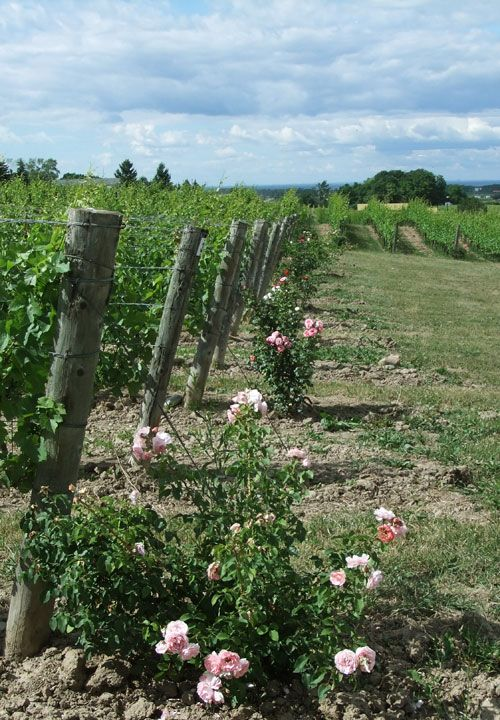 Tawse Winery, Niagara. Image: Naomi Clement