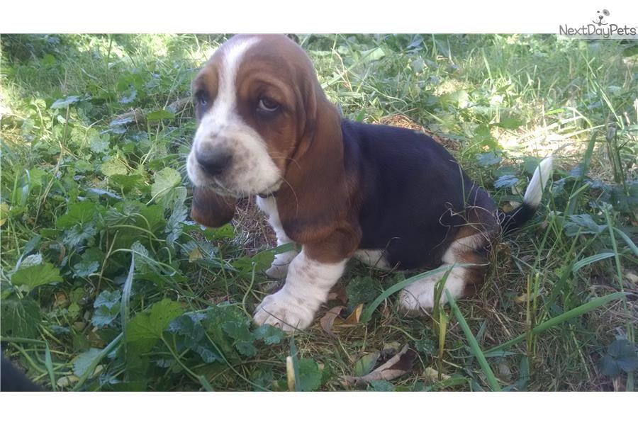 Basset Hound For Sale Basset Hound For Sale Basset Hound Puppy Basset Hound Beagle