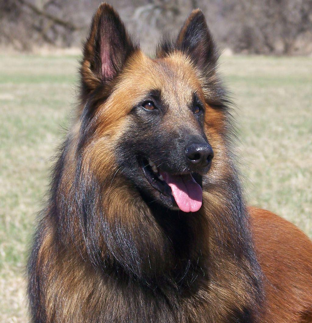 Belgian Tervuren Service Dog