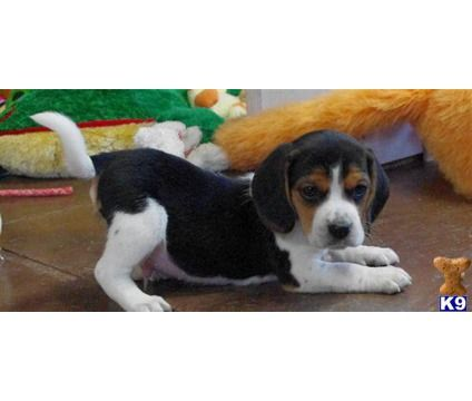 Baby Beagles Wanna Have Fun Beagles Beagle Puppy Baby