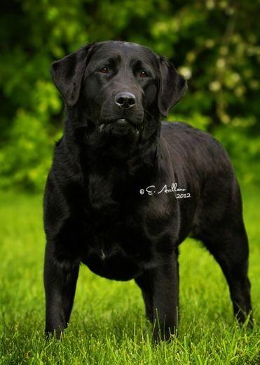 Grandvista Labrador Retrievers Labrador Retriever Labrador Dog Labrador