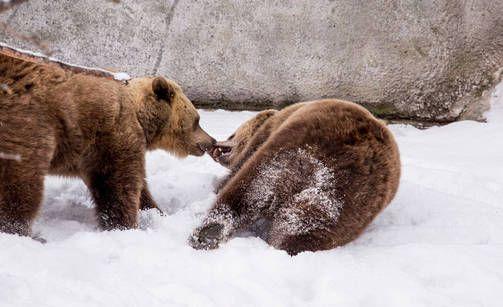 Tavallisesti karhut heräilevät vasta maaliskuun alulla.