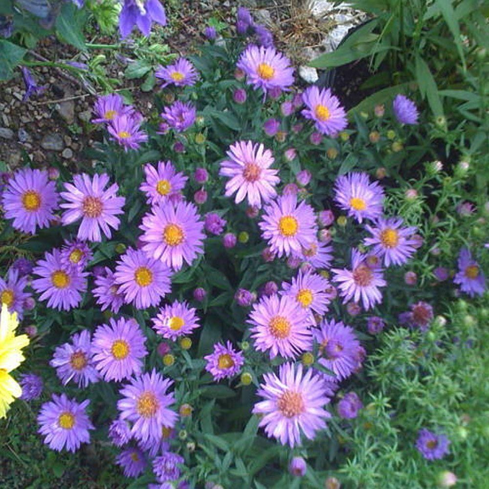 Onlineplantcenter 1 Gal Wood S Purple New York Aster Plant A157cl The Home Depot Best Perennials Plants