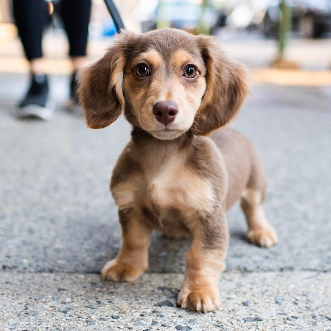 Greta Dachshund 3 5 M O Jane Greenwich Ave New York Ny She Refuses To Go To The Bathroom Outside She Waits To Go In Dachshund Baby Dogs Dog People