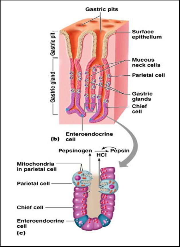 Associate Degree Nursing Physiology Review | Anatomy | Pinterest