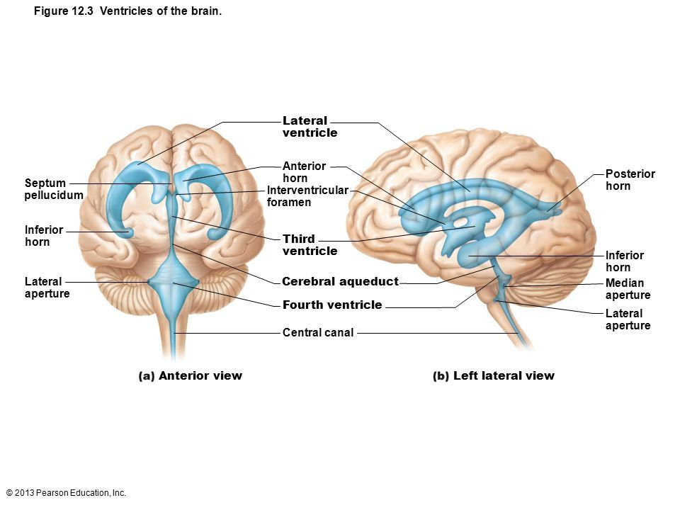 Ventricles of the BRAIN: marieb figure 12.4 ventricles of the brain ...
