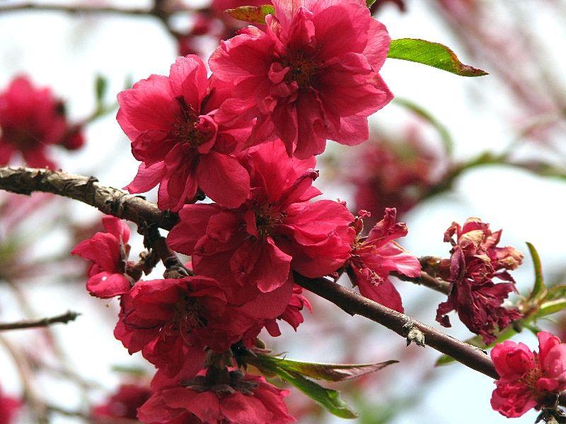 Red Baron Peach Blossoms Peach Blossoms Fruit Trees Blossom