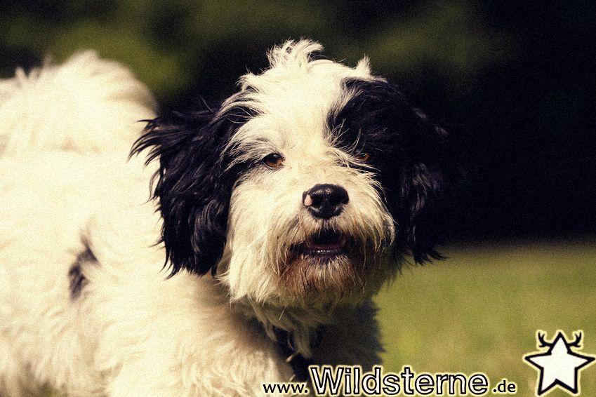"""Unser Hund der Woche der """"Bolonka"""" Besuchen Sie uns auf"""