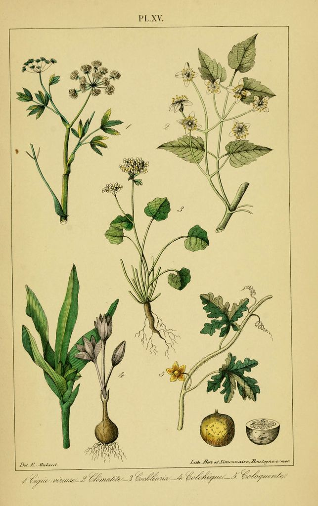 https://flic.kr/p/aQQftB | n1252_w1150 | Traité pratique et raisonné des plantes médicinales indigènes. 1868. Paris,P. Asselin,1868. biodiversitylibrary.org/page/11430259