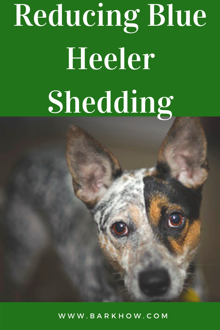 Reducing Blue Heeler Shedding In 2020 Blue Heeler Blue Heeler Dogs Heeler