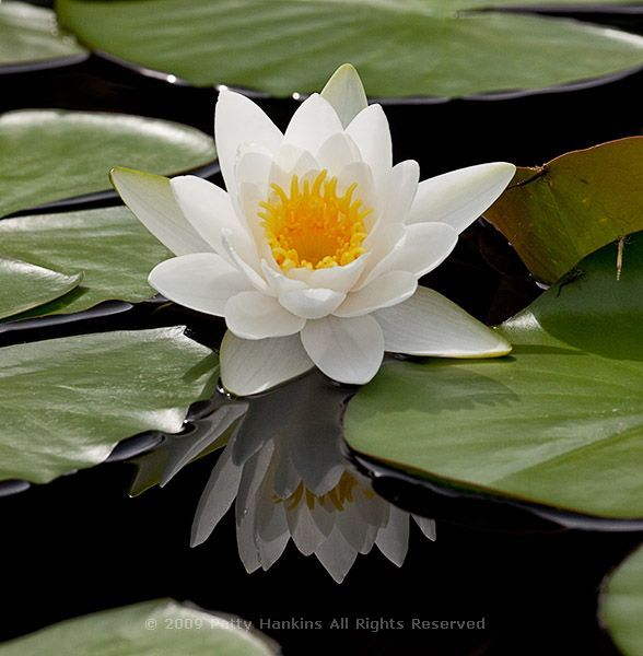 Virginalis Water Lily (c) 2009 Patty Hankins