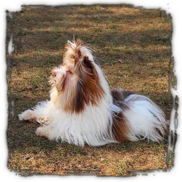 Imported Yorkshire Terriers Karmic Yorkies Gezina Pretoria