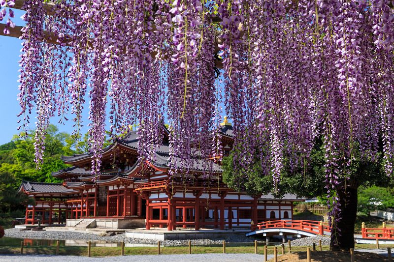 11 Great Locations To Enjoy Wisteria Arbour In Japan Tsunagu Japan Wisteria Arbor Wisteria Wisteria Trellis