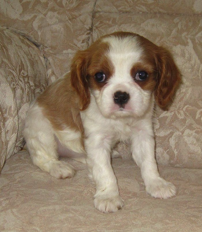 From California Cavalier King Charles Spaniel puppy