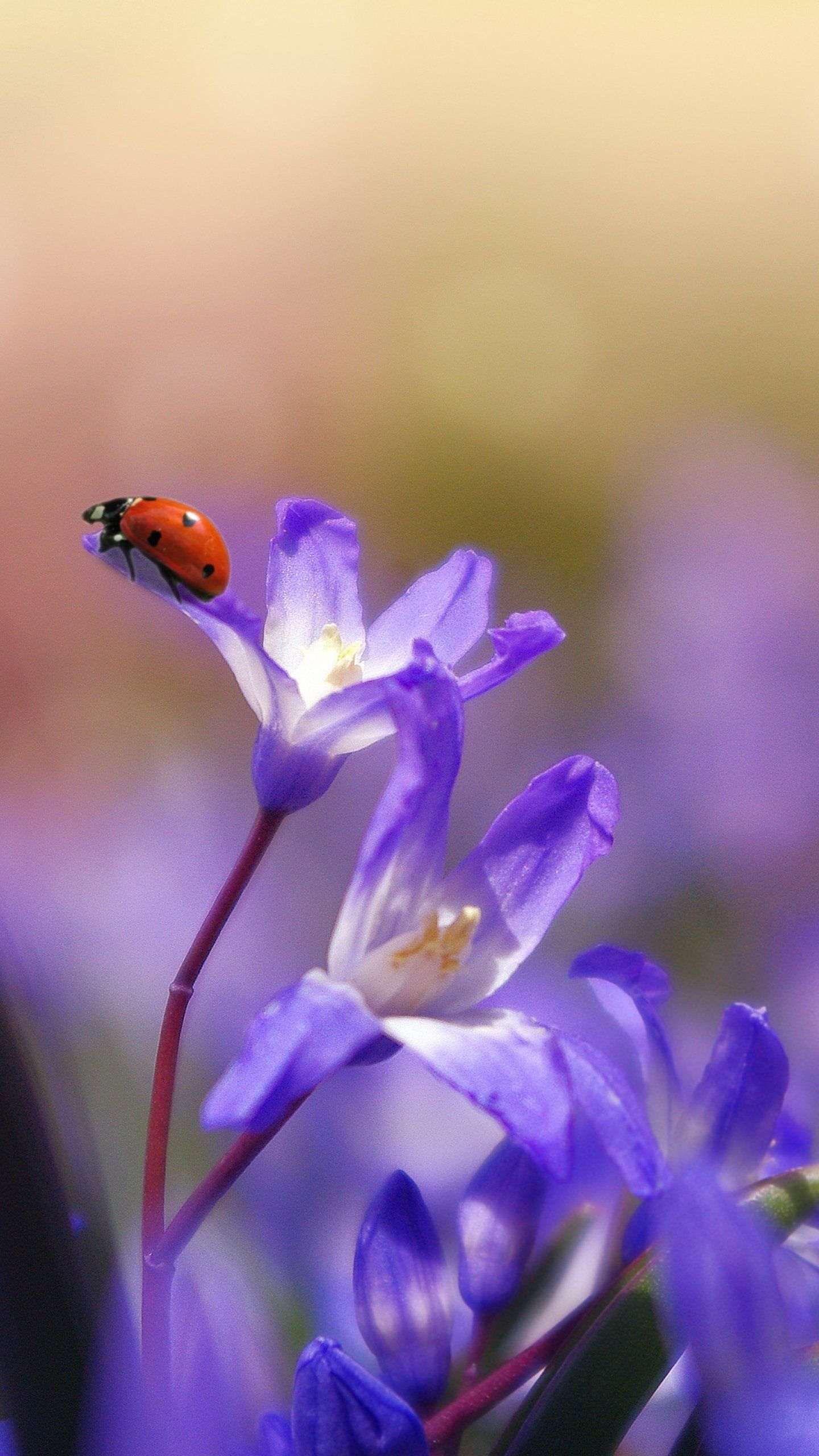 Ladybug on Purple Flower Wallpaper iPhone, Android