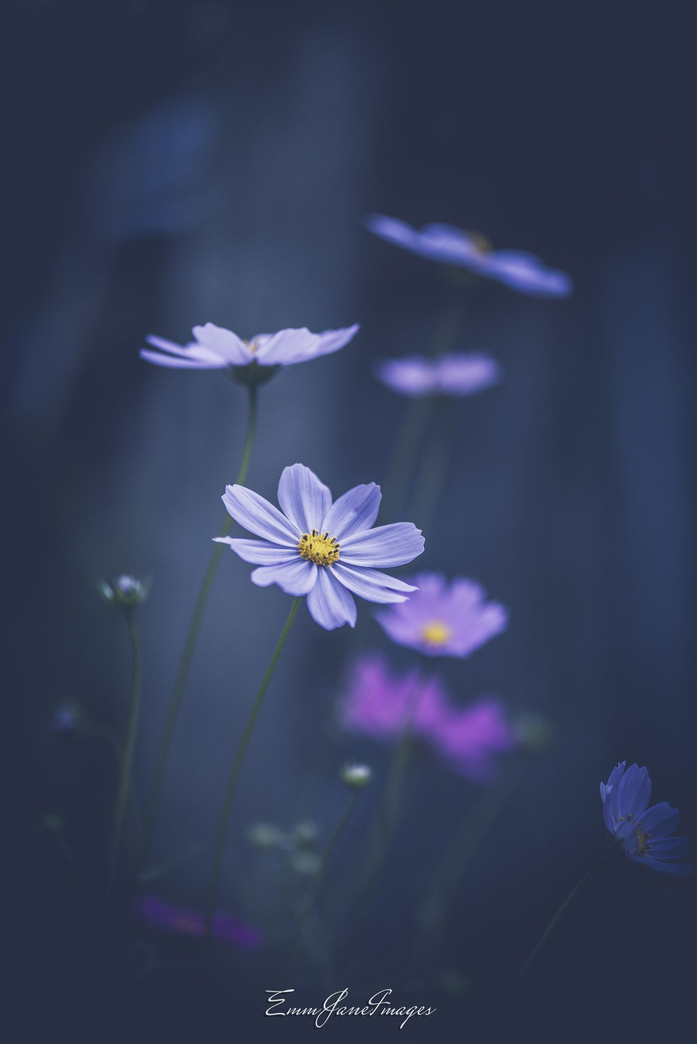 Cosmos flowers null aes pinterest cosmos flowers flowers