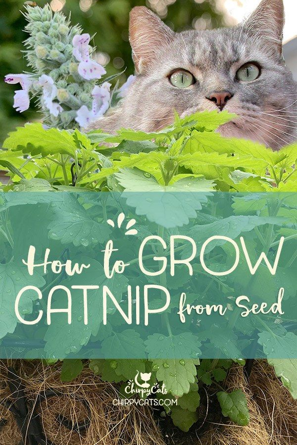 How to grow catnip and impress your kitties in 2020