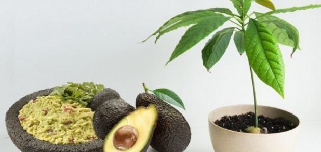 طريقة زراعة الأفوكادو ผลไม