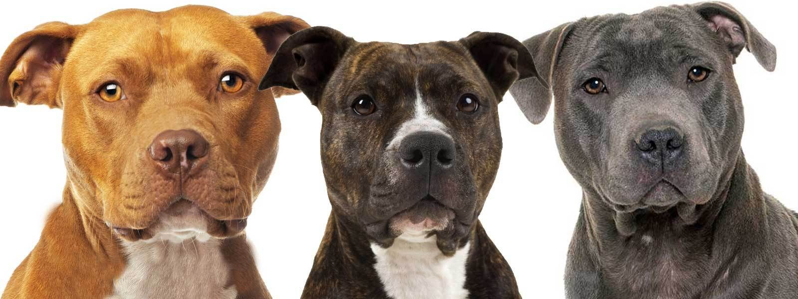 23 How Much Does An American Pitbull Terrier Cost In 2020