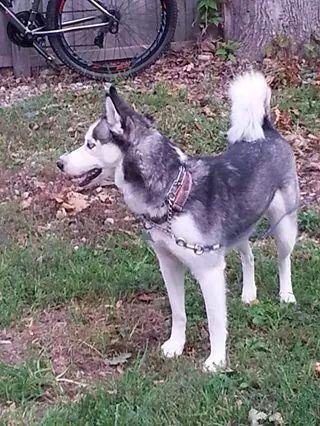 Stolen Lostdog 10 4 14 Adrian Morenci Mi Siberianhusky Female