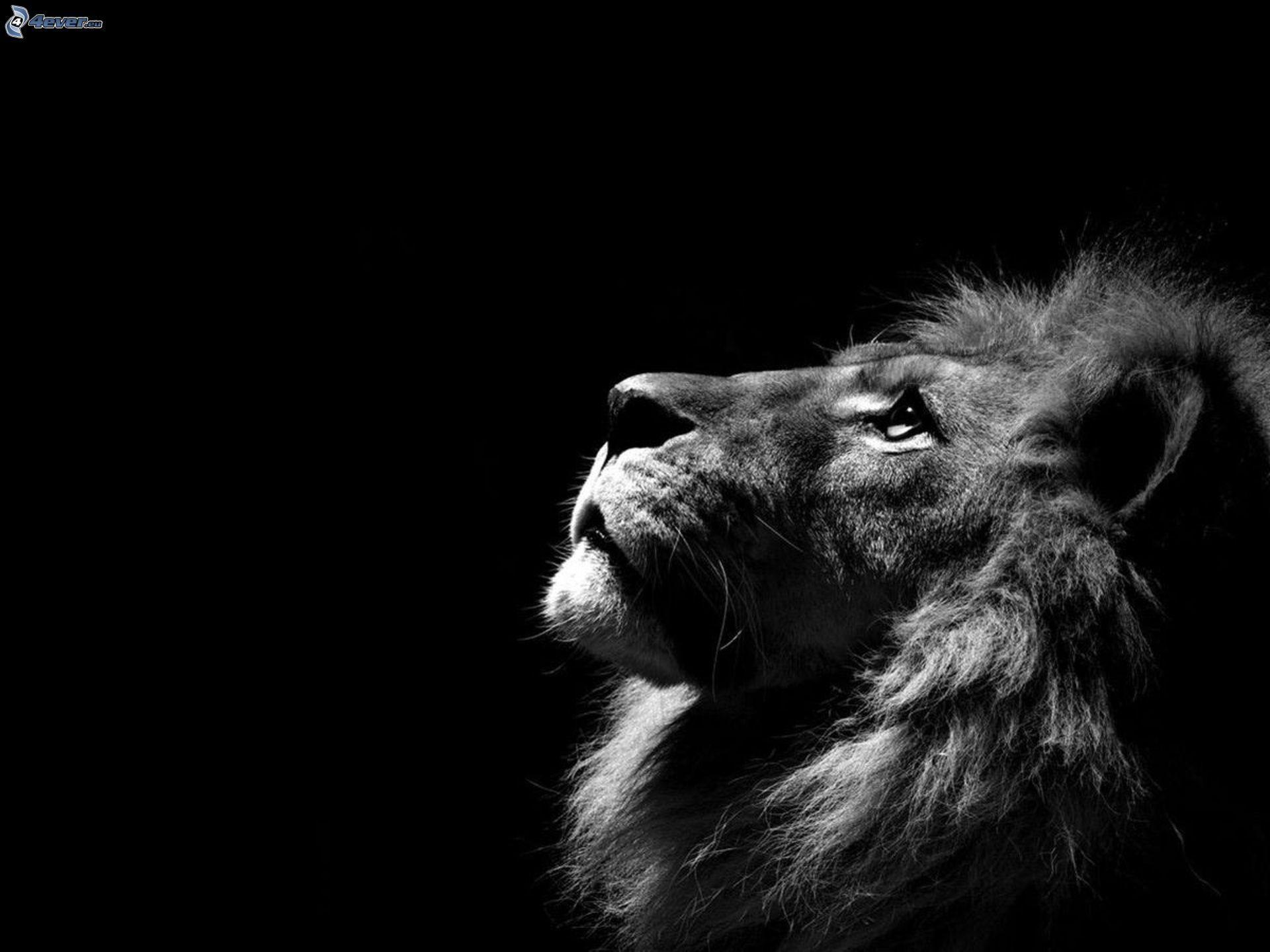 Leone bianco e nero disegni pinterest leone for Sfondi bianco e nero tumblr