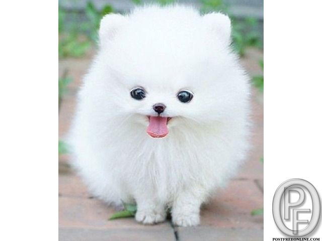 Looking For Small Pomeranian Dog Puppy In Mumbai Maharashtra
