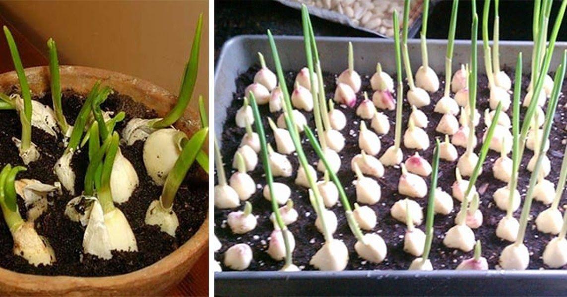 Voici Comment Faire Pousser Une Quantite Illimitee D Ail Chez Vous A La Maison Jardinage Jardin De Legumes Potager Facile