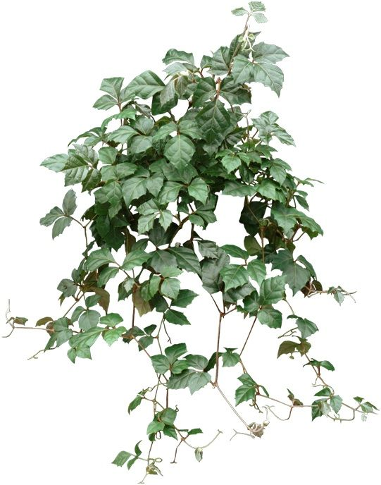 Pin on How to: Houseplants et al Ivy House Plant Poisonous on poison ivy plants, plant ivy plants, perennial ivy plants, small ivy plants,