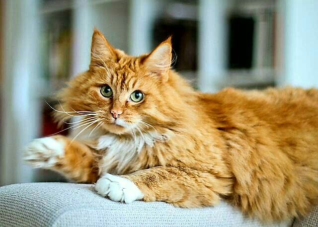 Pin By Lisa Skelton Johnson On Koty Norwegian Forest Cat Baby Cats Forest Cat