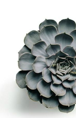 Many succulents are a blue/grey. Example of one that is soft and looks like a flower in itself. Wonderful to use as filler between other plants