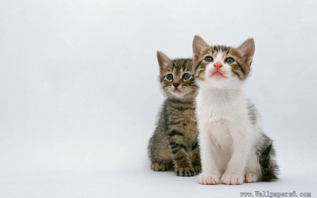 Two Absorbed Cat Animal Wallpapers Free Download