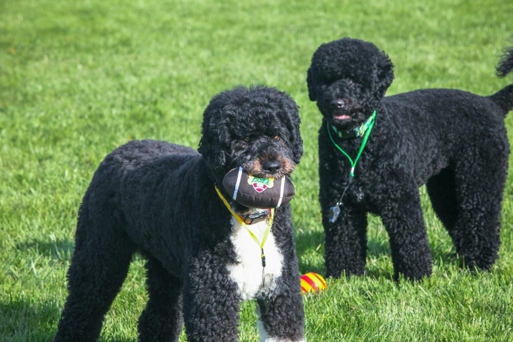 Puppy Bowl Training At The White House With Images Bo Obama