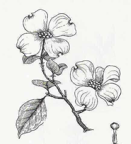 Dogwood Flower Dogwood Flower Tattoos Dogwood Tattoo Flower