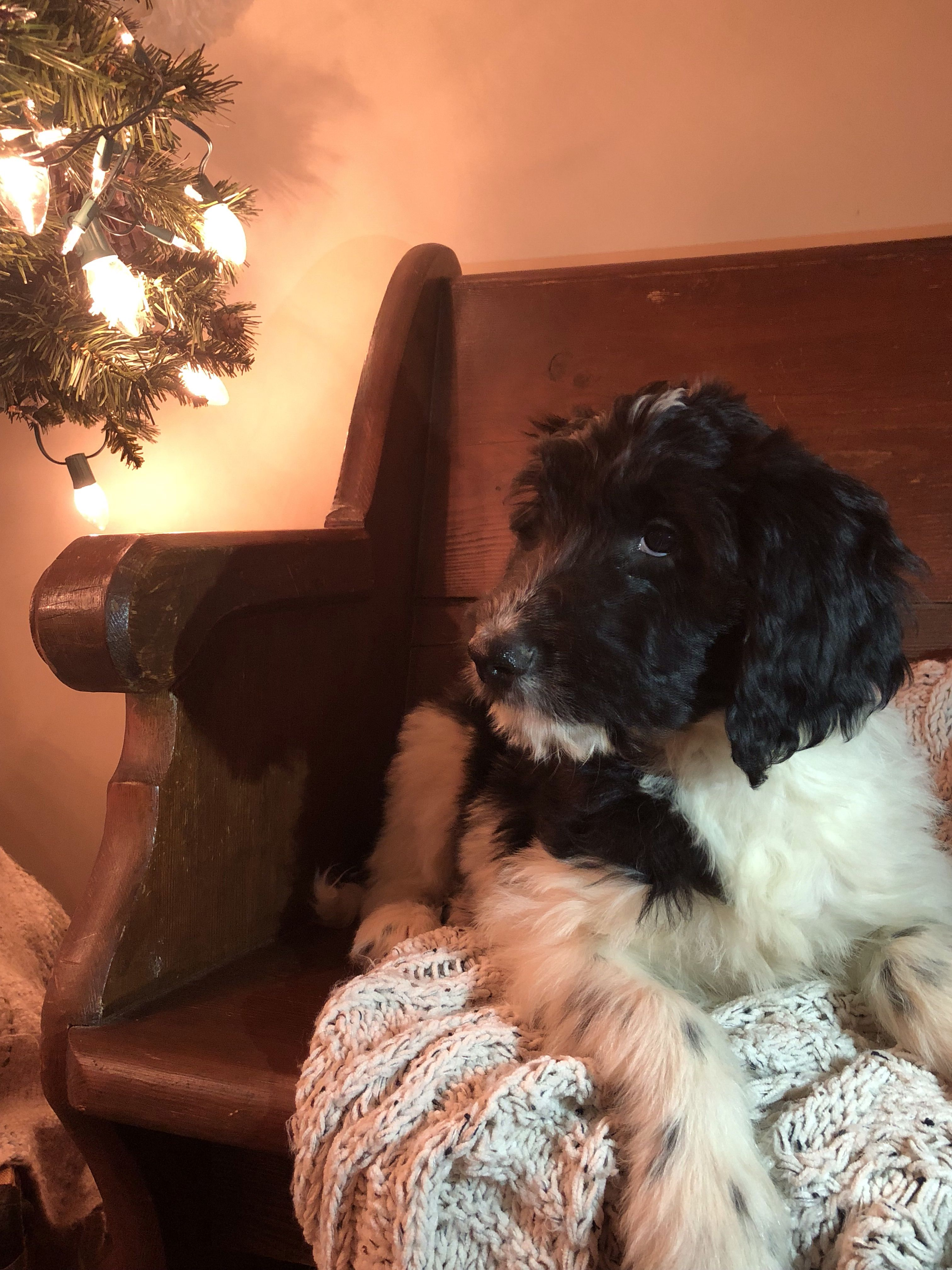 Free Newfypoo Doodle Puppy Puppies For Sale Goldendoodle Puppy
