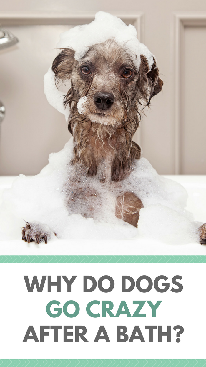 Why Do Dogs Go Crazy After a Bath   Dog and Fur babies