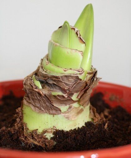 comment faire refleurir une amaryllis plantes et jardin. Black Bedroom Furniture Sets. Home Design Ideas