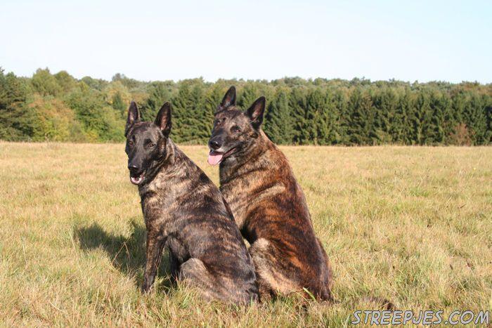 Pin By Helen Vaher On Fci G1 Dutch Shepherd Dog Malinois Puppies Little Dogs