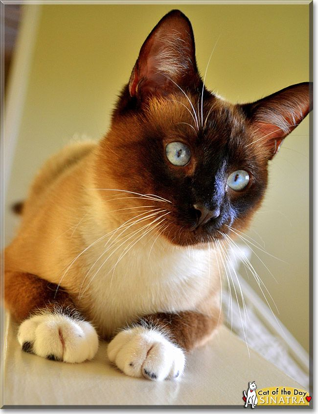 Read Sinatra the Siamese mix's story from Florida and see his photos at Cat of the Day http://CatoftheDay.com/archive/2013/June/25.html .