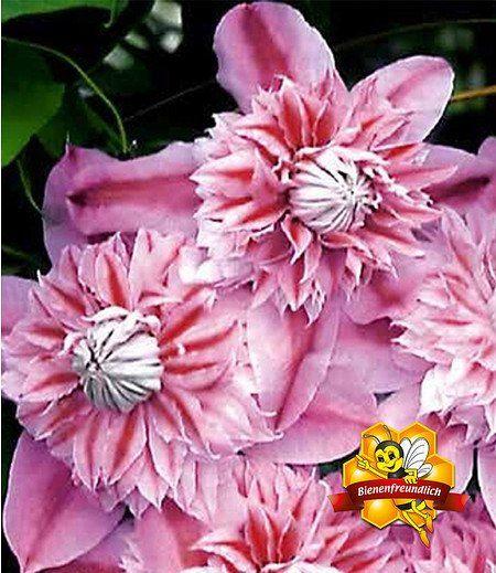 Clematis Josephine TM Evijohill N,1 Pflanze