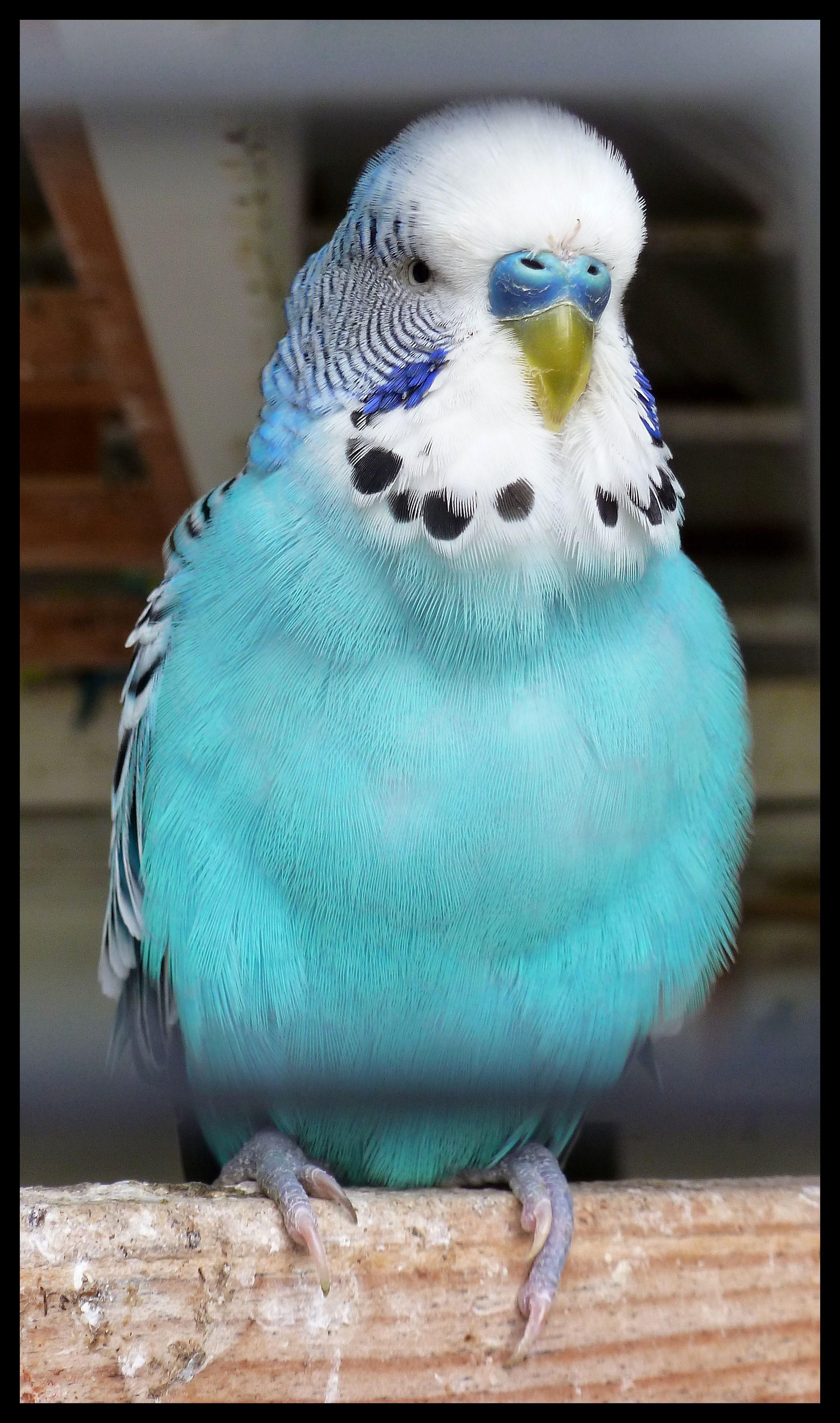 cute blue parakeets wwwpixsharkcom images galleries