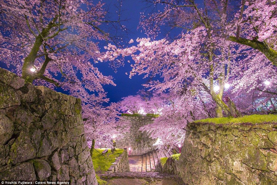 Stunning Cherry Blossoms In Full Bloom In Japan And South Korea Beautiful Pictures Hd Blossom Trees Cherry Blossom Japan