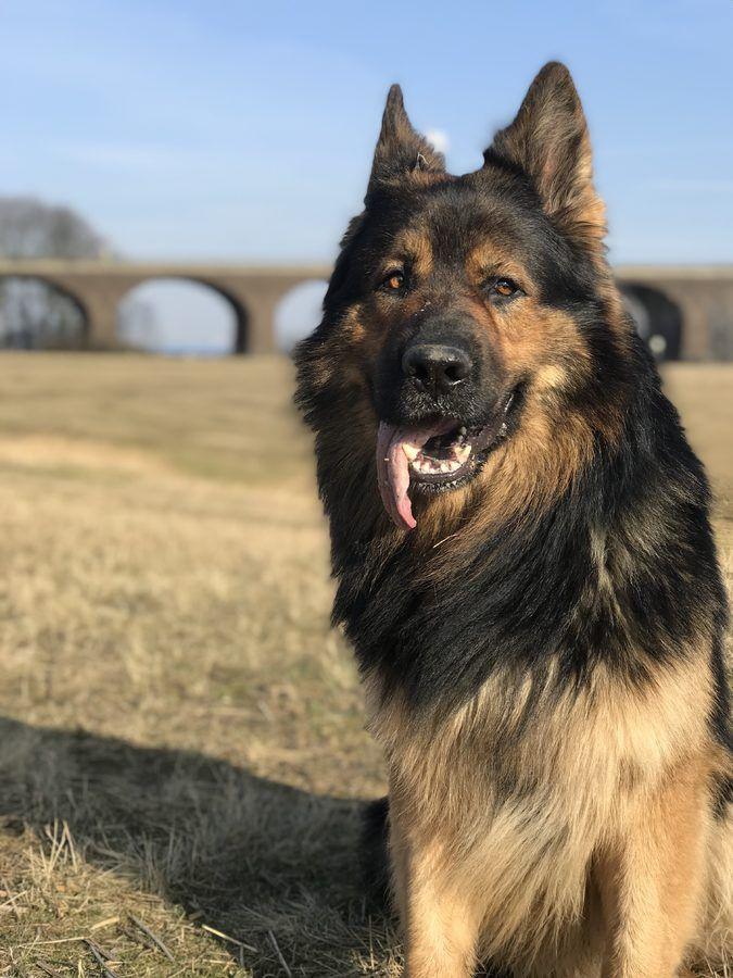 2018 Altdeutsche Schaferhunde Von Gignat Fairytale Schaferhunde Altdeutscher Schaferhund Hunde
